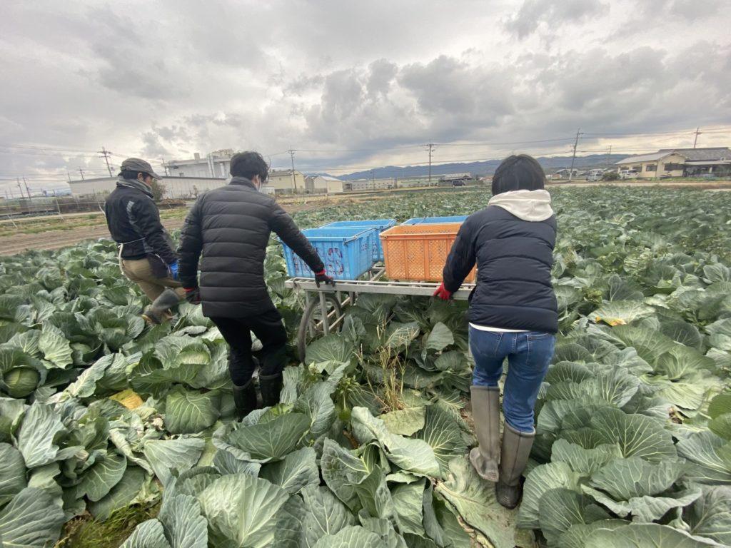 ECヴィレッジ 国内留学 農業体験 泉佐野 泉州 野菜 松波キャベツ